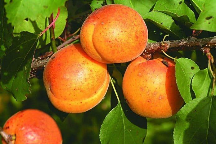 Сорта абрикоса белорусской селекции