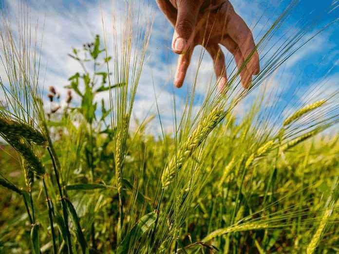 Сев зерновых и зернобобовых